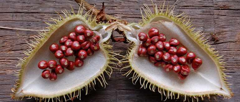 Плод Аннато