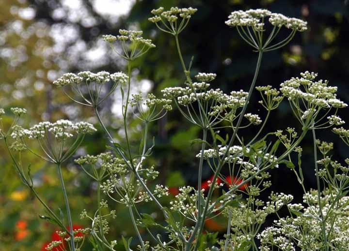 Что такое анис? Приправа, специя, пряность, трава?