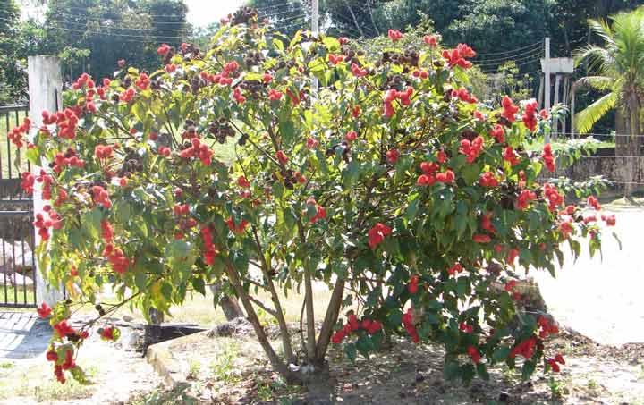 Дерево аннато