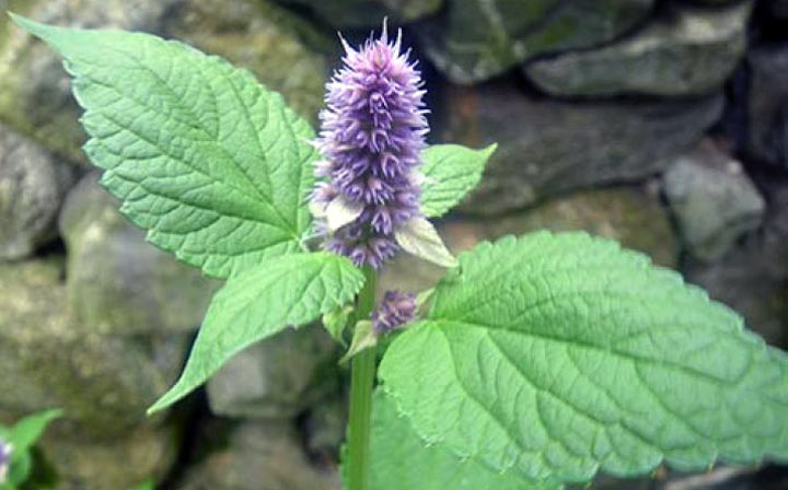 Растение лофант анисовый