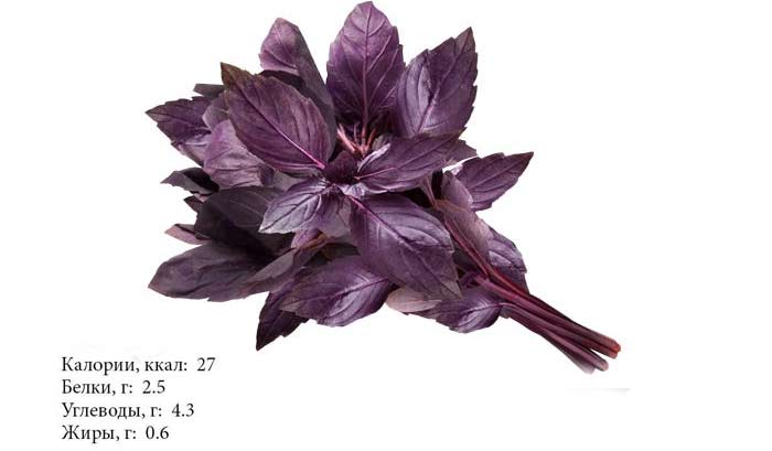 Базилик зеленый и фиолетовый: разница, полезные свойства и противопоказания, выращивание