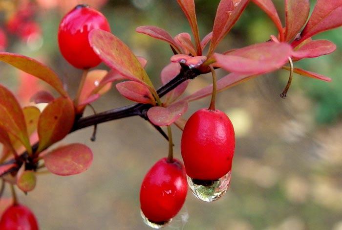 Листья, корень, плоды барбариса - лечебные свойства, вред, применение