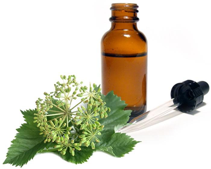 Дягиль лекарственный: лечебные свойства и противопоказания, применение в кулинарии