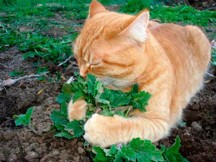 Трава котовник лимонный