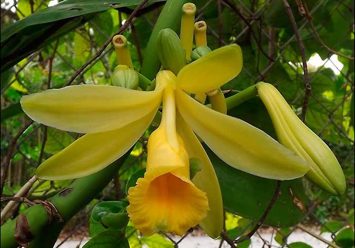 Как выглядит цветок ванили