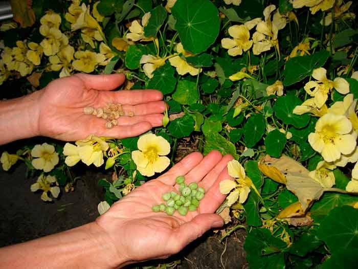Семена настурции