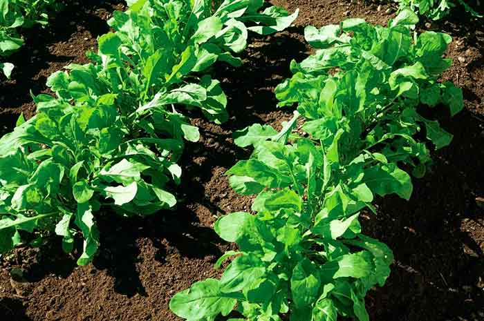 Выращивание рукколы