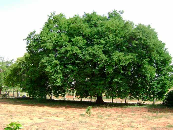 Как растет тамаринд