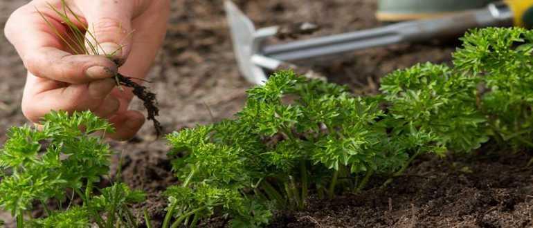 Выращивание петрушки