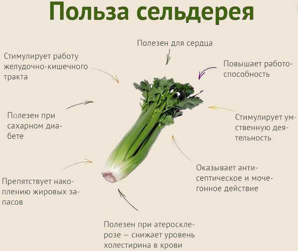Польза сельдерея для организма