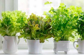 Как выращивать сельдерей