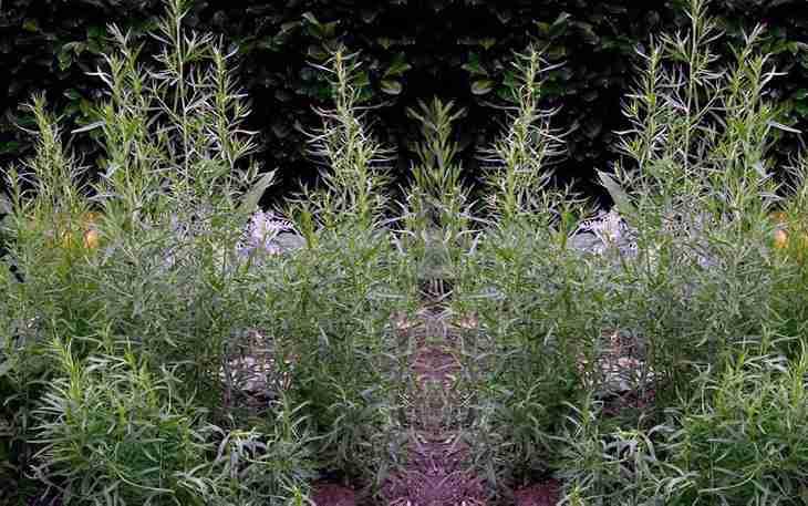Трава эстрагон