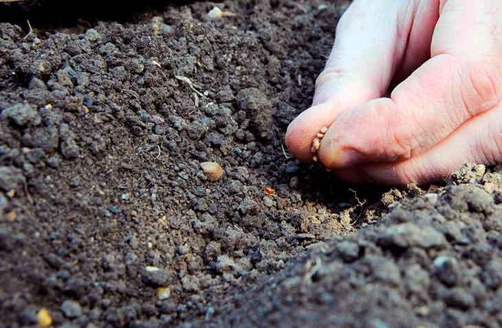 Открытую грядку семена базилика